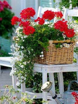 geraniums on a chair